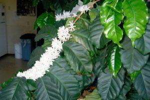 Кофейное дерево (Coffea) цветение