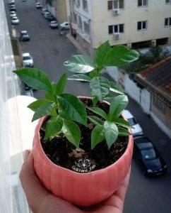 Кофейное дерево (Coffea)