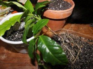 Кофейное дерево (Coffea) пересадка