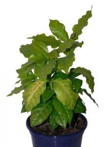 Кофейное дерево (Coffea) болезни