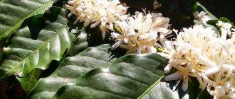 Кофейное дерево - выращивание и уход в домашних условиях, фото видов