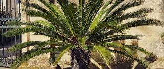 Цикас - уход и размножение в домашних условиях, фото видов растения