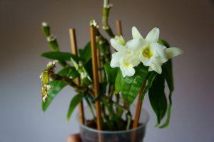 Дендробиум цветение