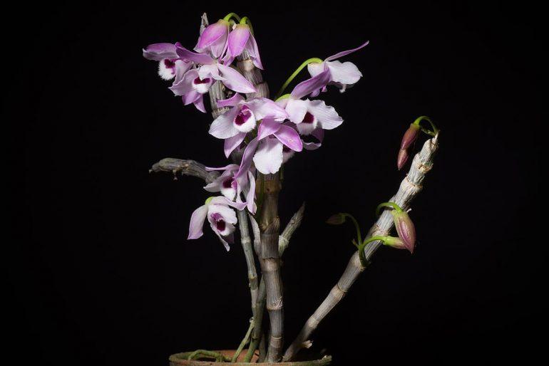 Dendrobium Dorrigo 'Wisteria'