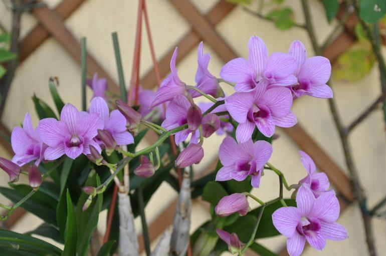 Дендробиум фаленопсис (Dendrobium phalaenopsis)