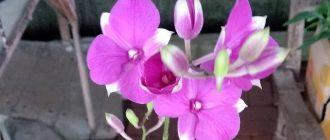 Орхидея Дендробиум - уход и размножение в домашних условиях, фото