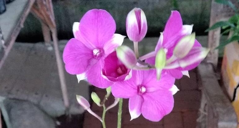 Эпифитная орхидея дендробиум - особенности растения и период цветения видео