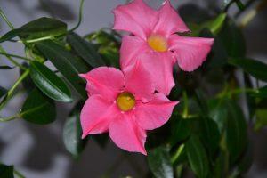 Дипладения цветение