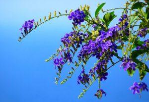 Дуранта цветение