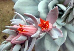Эхеверия цветение