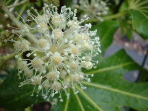 Фатсия японская цветение