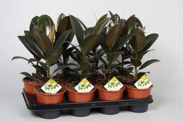 Ficus elastica Melany