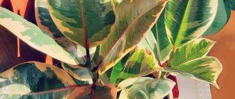 Фикус каучуконосный - уход и размножение в домашних условиях, фото видов
