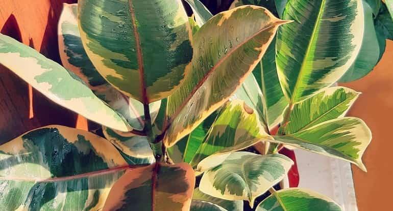 Фикус тинеке 28 фото особенности ухода за фикусом эластика и способы его размножения в домашних условиях