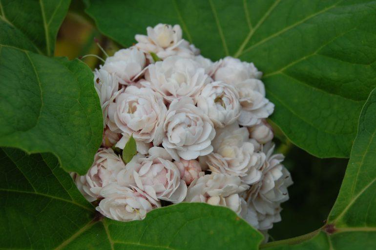 Филиппинский (C. philippinum)