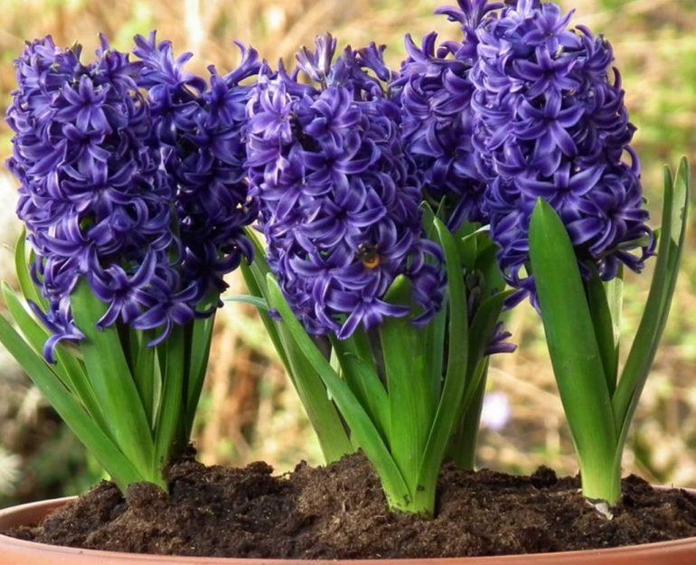 Фиолетовые гиацинты