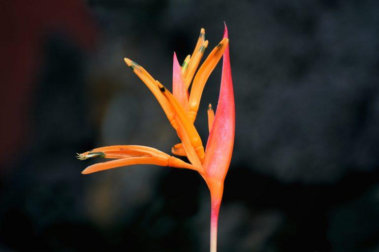 Геликония двуцветная (Heliconia bicolor)