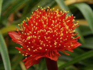 Гемантус цветение