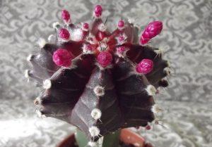 Цветение гимнокалициума