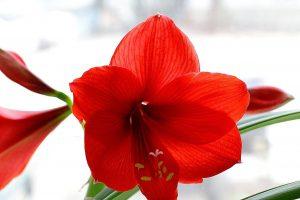 Гиппеаструм цветение