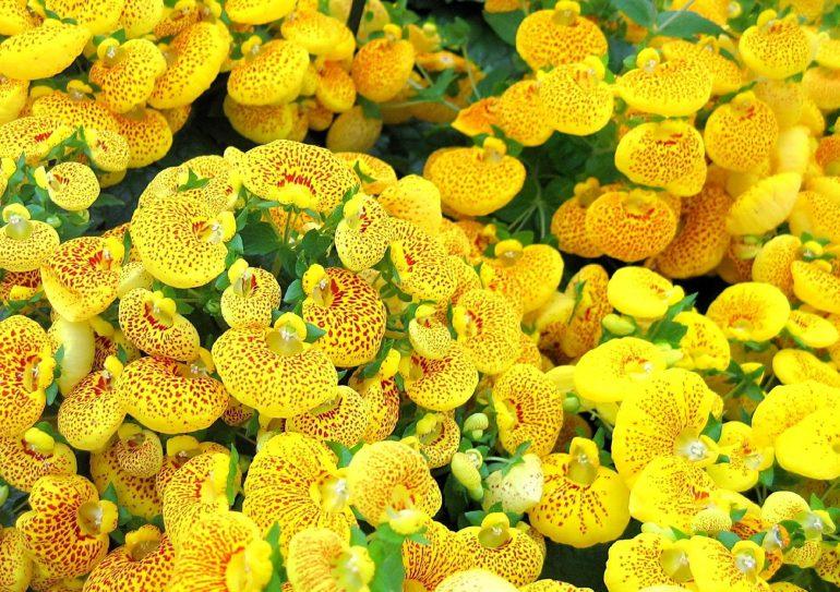 Городчатоцветковая (C. crenatiflora)