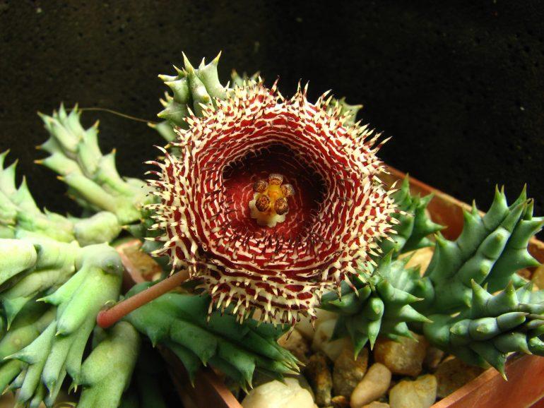 Гуэрния колючая (Huernia hystrix)