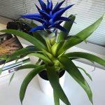 гузмания синяя, голубая blue фото