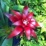 гузмания язычковая, красная фото