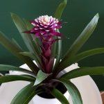 Гузмания фиолетова, лиловая, пурпурная фото