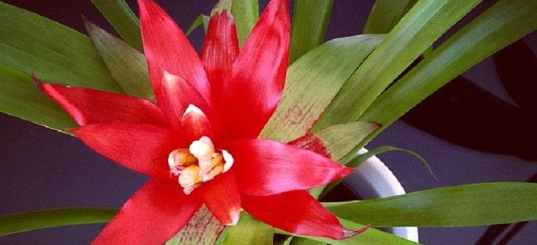 Гузмания отцвела что делать с цветком