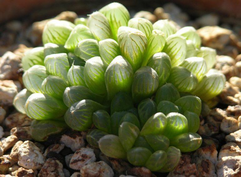 Хавортия Купера (Haworthia cooperi)