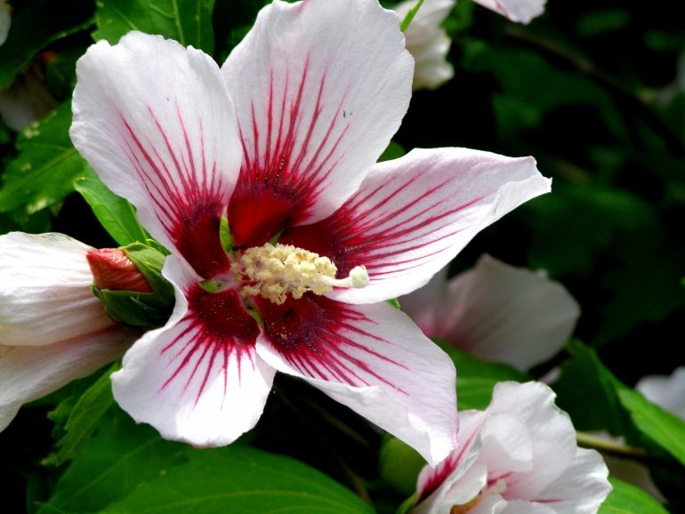 Гибискус китайский (Hibiscus)