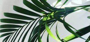 пальма ховея. Фото