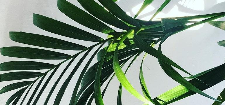 Перистолистная пальма Ховея - уход в домашних условиях подкормки грунт видео