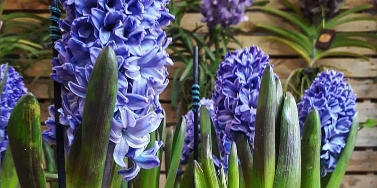 Цветок гиацинт — посадка и уход в домашних условиях, размножение и болезни