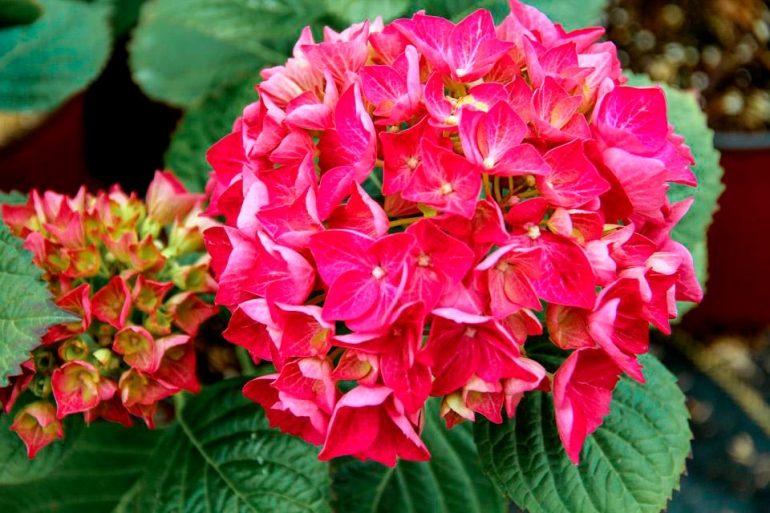Hydrangea Красная сенсация