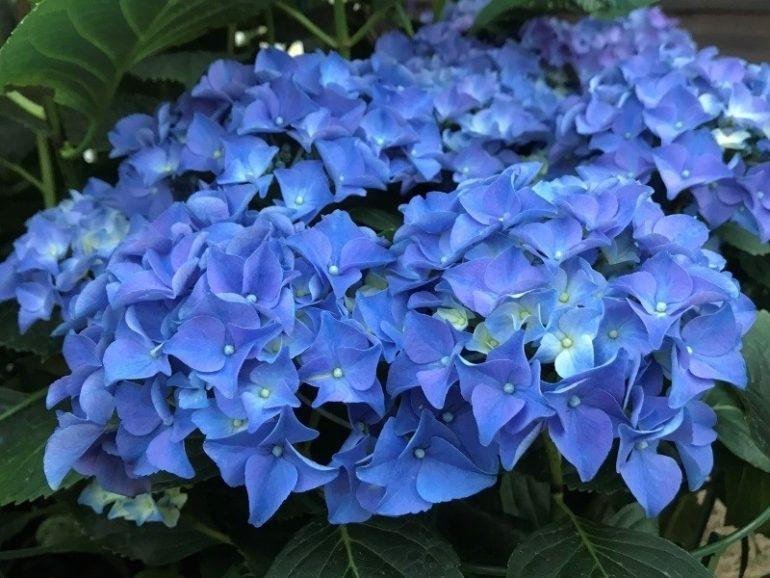Hydrangea Эрли Блу