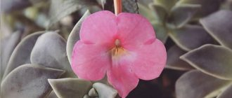 Бальзамин Уоллера - выращивание и уход в домашних условиях, фото сортов