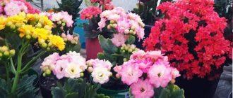 Каланхоэ - посадка, выращивание и уход в домашних условиях, фото видов