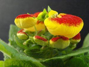 Кальцеолярия цветение