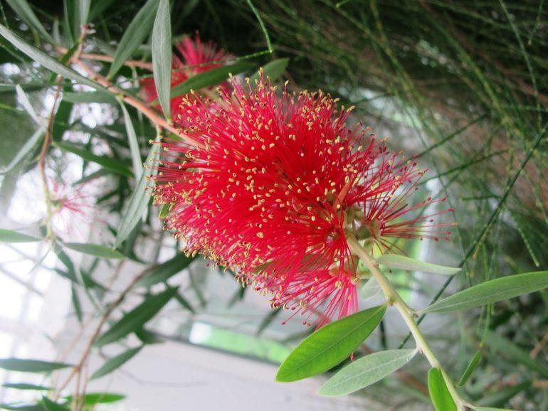 Каллистемон ярко-красный (Callistemon coccineus)