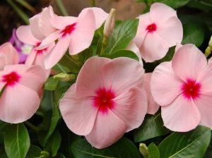 Катарантус цветение
