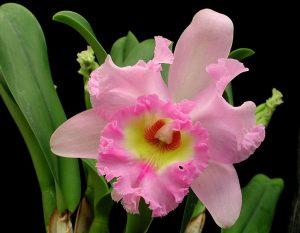 Каттлея цветение