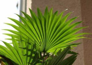 Ливистона (Livistona) цветение