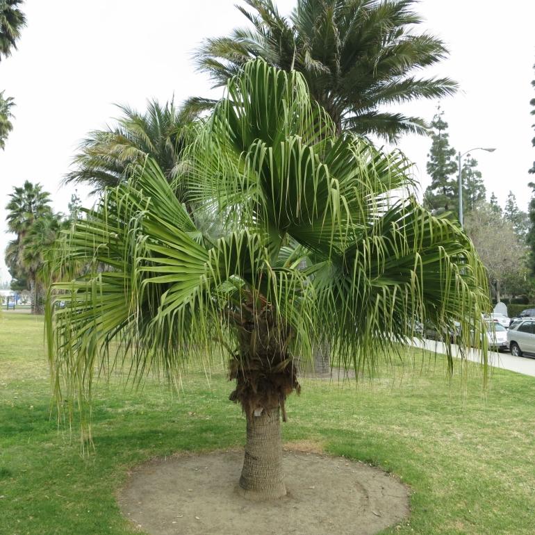 Ливистона китайская, латания (Livistona chinensis)