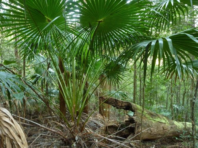 Livistona australis, Corypha australis