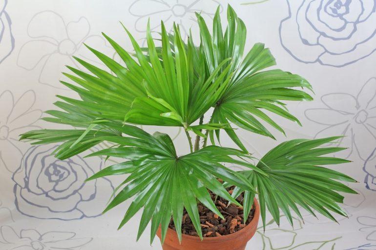 Ливистона Круглолистая ротундифолия Livistona rotundifolia