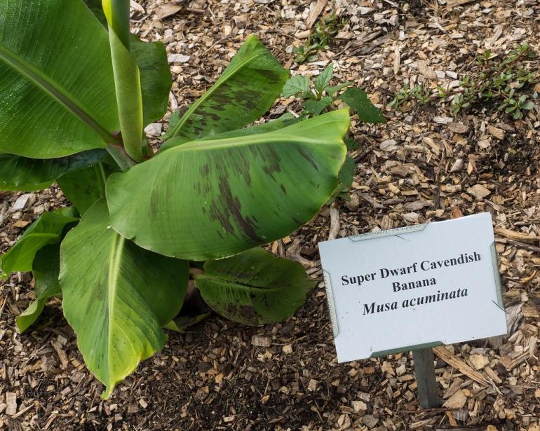 Банан Кавендиш карликовый (Musa acuminate Super Dwarf Cavendish)