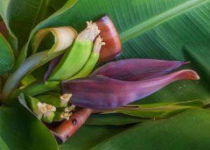 Банан домашний (Musa) цветение
