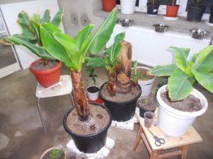 Банан домашний (Musa)